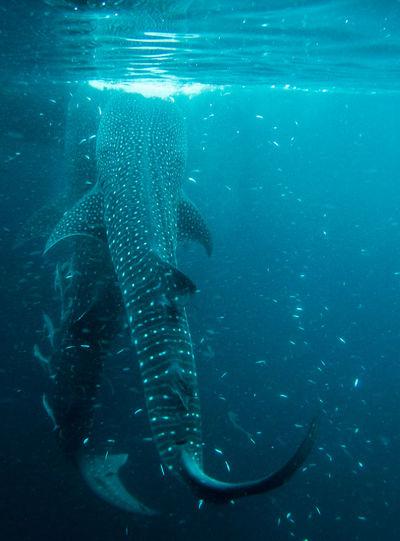 Whalesharks on derawan, indonesia