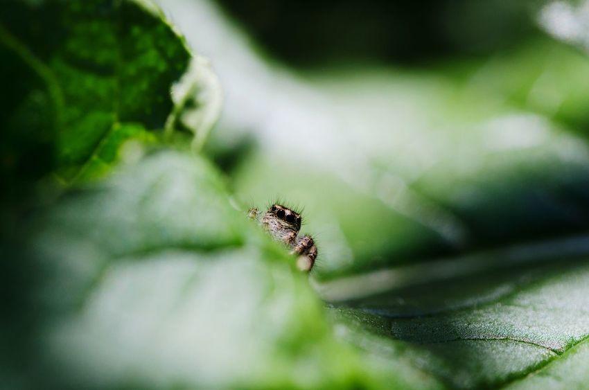 Spider Ragno Arachnid Eyes Occhi Scared Arachnophobia Insect Macro Paura