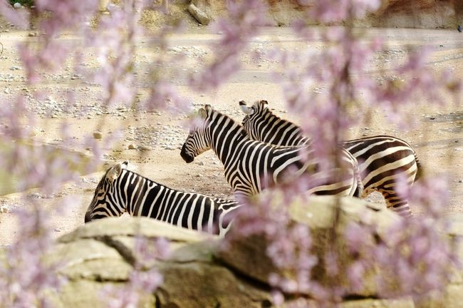 Beauty In Nature Spring Wild Wildlife Wildlife & Nature Animal Themes Animals In The Wild Zebra Crossing Cherry Blossoms Blossom Pink Color Travel Photography Landscape_Collection Tranquil Scene EyeEm Selects Zebra Defocused Blooming Flower Head Petal Cherry Tree