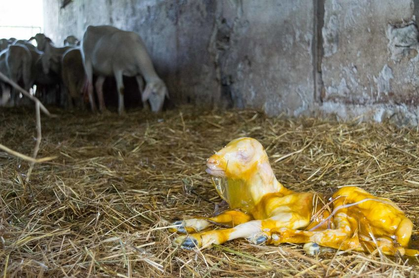 Animal Baby Beauty In Nature Born Close-up Lamb Mammal Nativity Nature Placenta Rural Scene Sheep Animals 43 Golden Moments Showcase June Fine Art Photography Colour Of Life Paint The Town Yellow