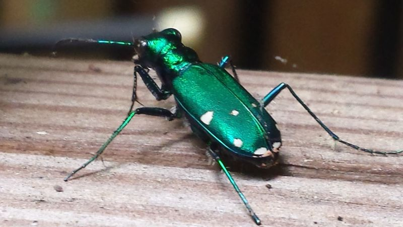 Emerald Beetle Emerald Bug Green Beetle Green Bug Green Bugs Metallic Bugs Metallic Insect Six-spotted Tiger Beetle