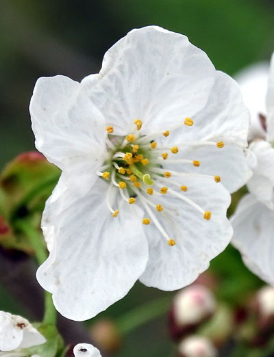 Apple Blossom Beauty In Nature Blooming Blossom Close-up Day Flower Flower Head Focus On Foreground Fragility Freshness Growth Nature No People Outdoors Petal Plant Pollen Stamen White Color