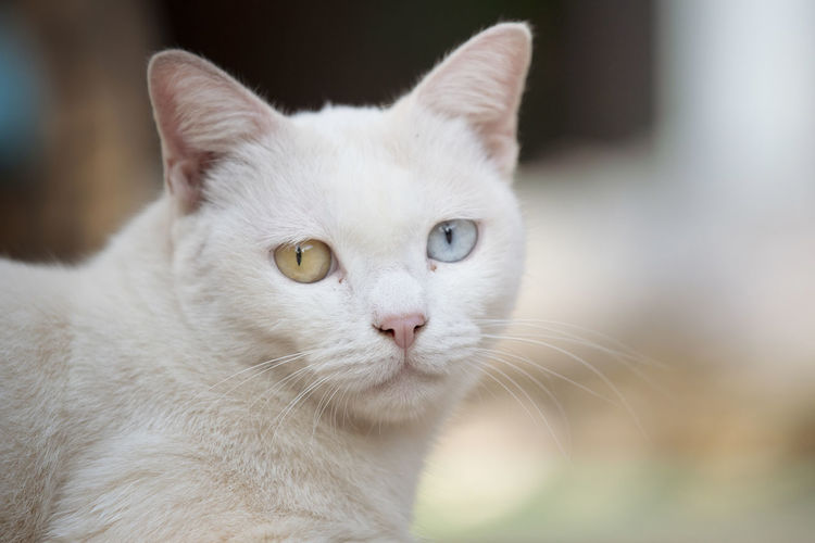 Close up head white cat Domestic Pets Animal Themes Animal Domestic Animals Domestic Cat Mammal Cat One Animal Feline Close-up Portrait Focus On Foreground Animal Body Part White Color Whisker Vertebrate Looking At Camera No People Animal Head  Animal Eye