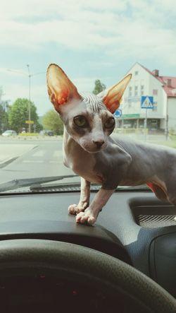 Car Transportation One Animal