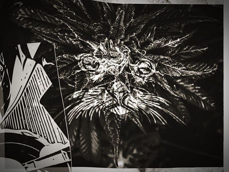 Ganja kitty Fantasy Marijuana 420 Photography Herbal Medicine Marijuana Photography Textured  WeedPorn Pyschedelic Wandering Smoking 420 Backgrounds EyeEmNewHere Abstract Stoned. Weed 420 Life Herb Flower Enlightment ArtWork Art Cat Stonercat Mj The Week On EyeEm