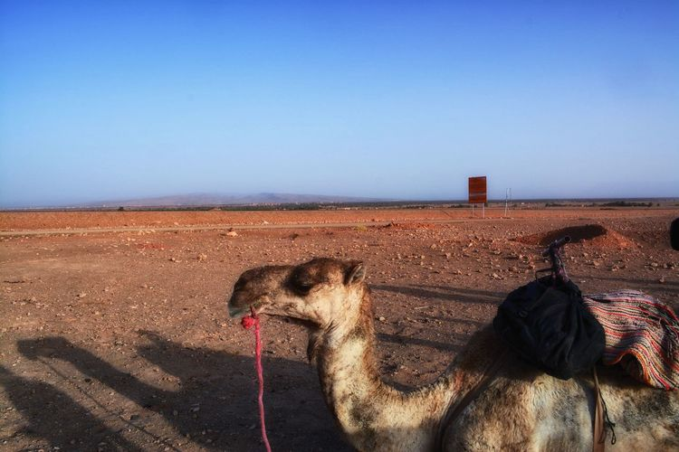 Animal Themes Camel Clear Sky Day Dessert Hot Morocco Nature No One Around No People One Animal Outdoors Sky