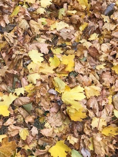 Full frame shot of yellow autumn leaves