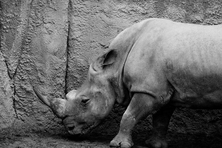 Rhinoceros by wall