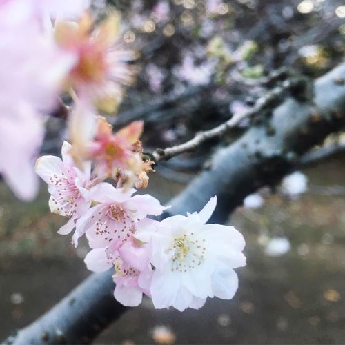 🌸 Cherry Blossoms Sakura Flower Plant Flowering Plant Freshness Fragility Beauty In Nature Vulnerability  Pink Color