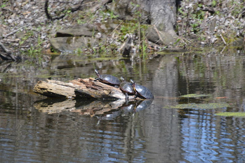 View of a turtle in lake