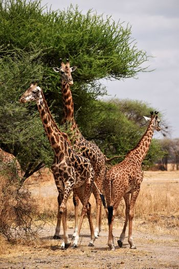Animal Animal Wildlife Animal Themes Group Of Animals Animals In The Wild Mammal Plant Standing Giraffe No People Tree Day Domestic Animals Field Nature Land Safari Vertebrate Two Animals Herbivorous Outdoors Animal Family Animal Neck