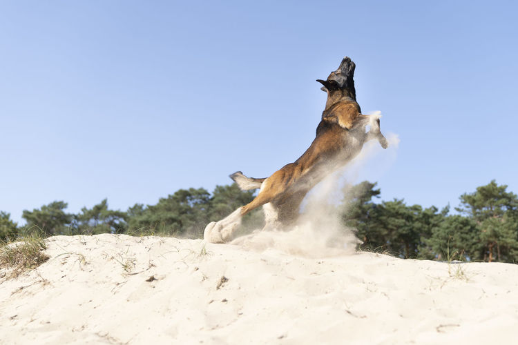 A belgian sheepdog or malinois dog playing catch with a ball outdoors in a dune area