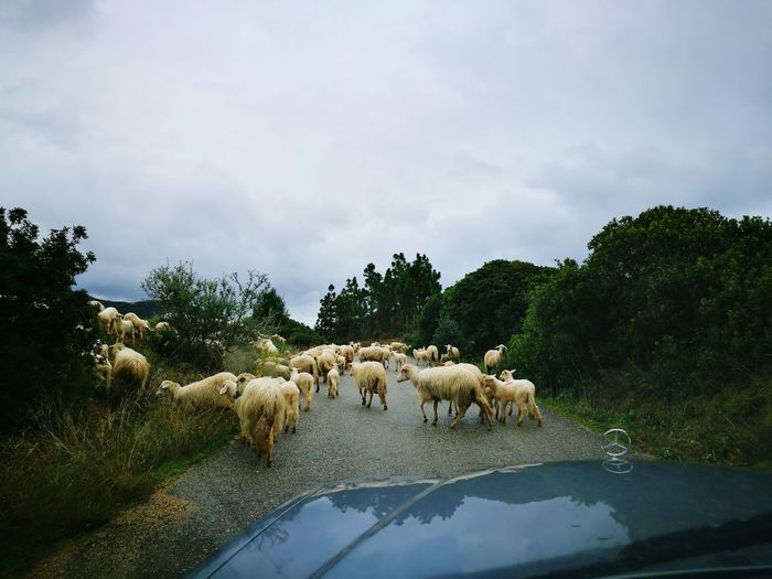 Sheep Crossing Road In Countryside