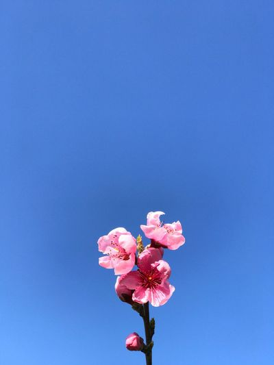 Peach flower Flowering Plant Flower Pink Color Freshness Plant Beauty In Nature Fragility Vulnerability  Blue Nature Petal Close-up Copy Space Growth Sky No People Flower Head Day Low Angle View Inflorescence
