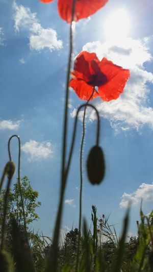 Flowers Red Flowers Poppy Poppies  Tall Flowers In The Sky Red And Blue Silhouettes Silhouette_collection Standing Tall Showing Imperfection