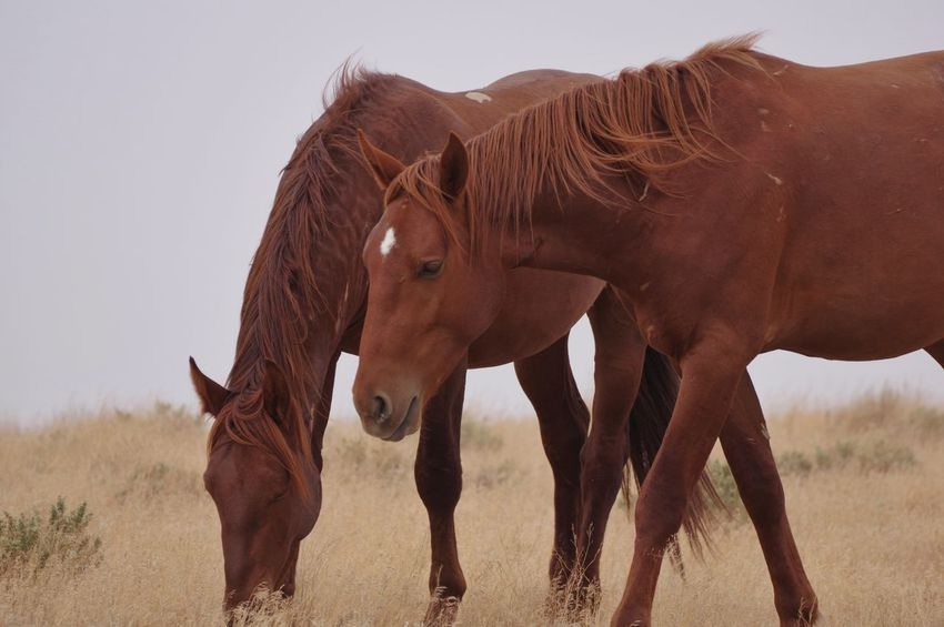 Wild horses of sweet water county Wyoming USA Wyoming Landscape Wyoming Wyoming Wildlife Environment Sweetwater County Wild Horses Animal Themes Mammal Animal Animal Wildlife Group Of Animals Vertebrate Brown Two Animals Field Nature No People Land Animals In The Wild Herbivorous Standing Horse Sky