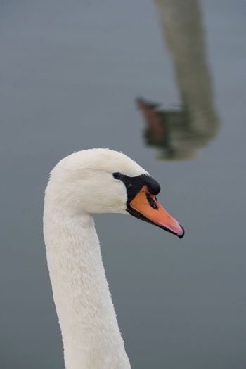 EyeEmNewHere EyeEm Best Shots Bird Animals In The Wild One Animal Beak Animal Body Part Animal Wildlife Animal Head  Water Bird Lake No People Animal Themes Swan Outdoors Water Day Close-up A New Perspective On Life