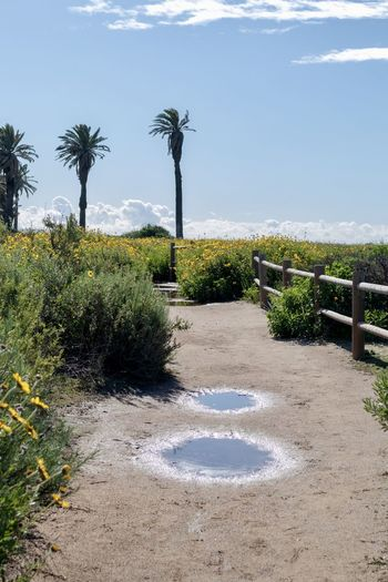 dirt foot path in wild flower field Foot Path Plant Tree Nature Sky Day Growth Water Tranquil Scene Outdoors Sunlight Tranquility Palm Tree No People Land Scenics - Nature Wildflowers Palm Trees Blue Sky