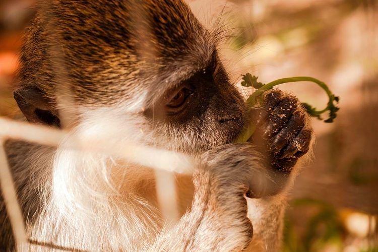 Close-up of monkey eating