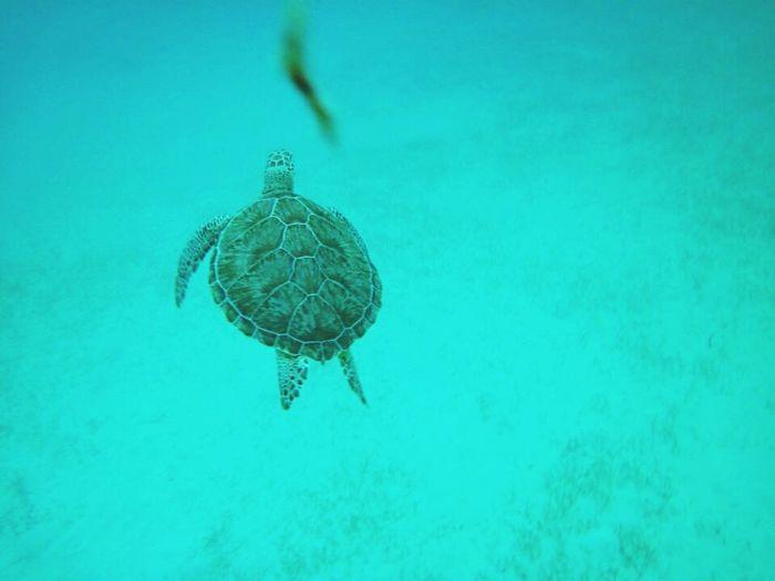 Turtle 🐢 Travelaroundtheworld Exotic Destination Mexico Akumal Share Your Adventure