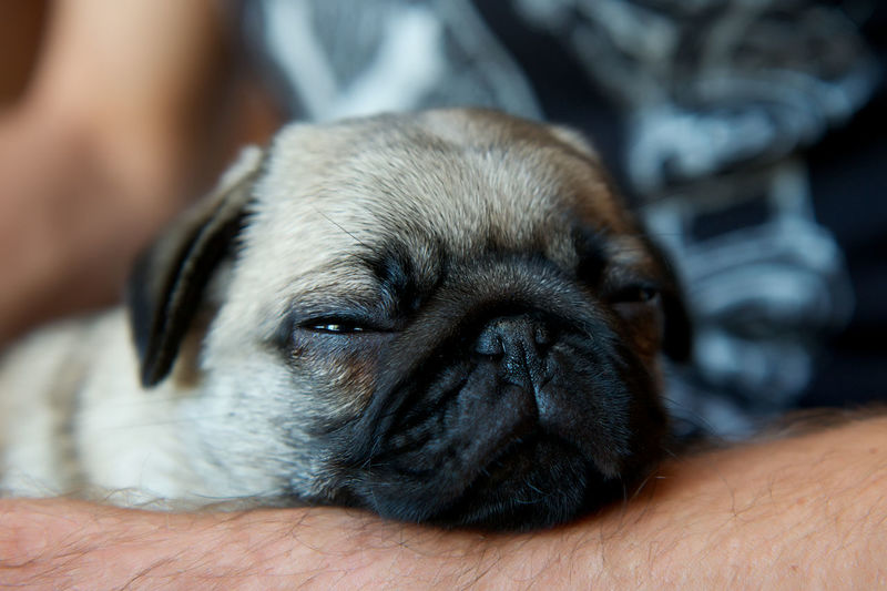 Midsection Of Man Holding Pug Puppy At Home