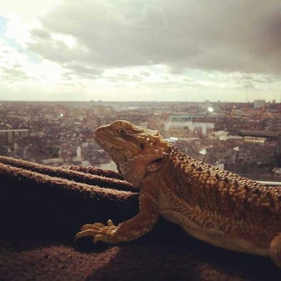 Lizard I Love My Pet Tetzuo London