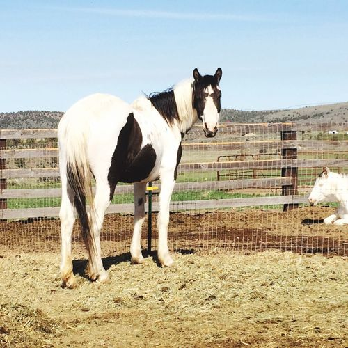 LaKota a black and white pinto Warmsprings Reservation mustang mare with last yrs colt in the background Having Fun :) Natural Beauty Horse Photography  HorseNAround Horse <3 Nature Photography Horse Love Horse Power Animal Photography Love ♥ Lovelovelove Horses