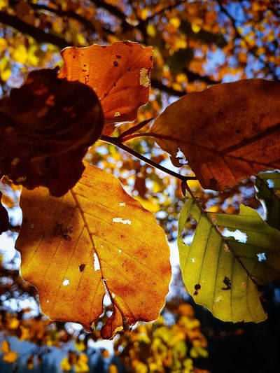Leaf Nature Autumn Close-up Beauty In Nature Outdoors Day Fragility Autumn Leaves Autumn Colors Orange Fagus Sylvatica Landscape Yellow Hiking Mountains Sky Branch Growth Tranquility Forest Sunlight