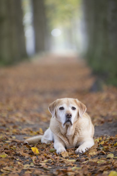 Yellow Labrador Animal Themes Day Dog Domestic Animals Full Length Mammal Nature No People One Animal Outdoors Pets Pet Portraits
