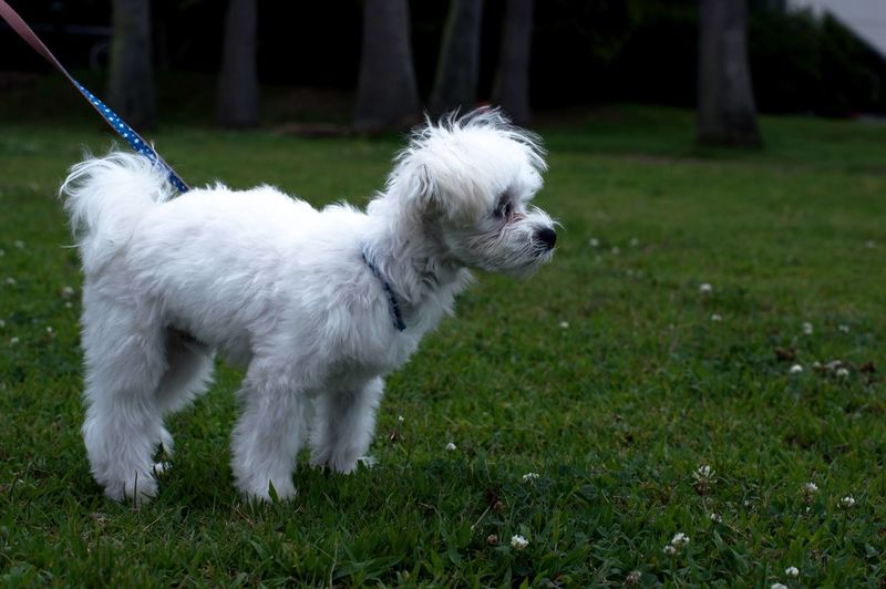 White dog on field