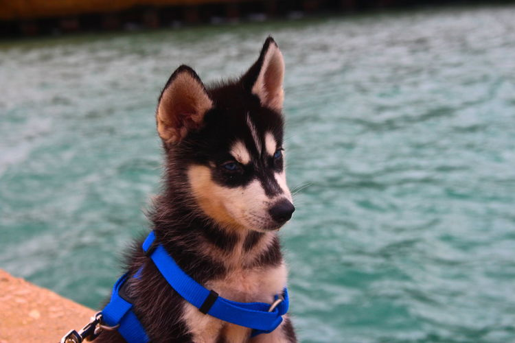Close-Up Of Siberian Husky Puppy Against Lake