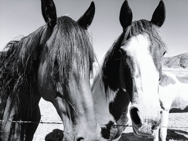 Nature Outdoors Domestic Animals Day Animal Themes Mammal Livestock Natural Light Photography Close Up Daylight Sunshine Horses EyeEm Selects Liv'n The Dream Horse Horse Head Horse Mane Agriculture Monochrome Black And White Black And White Photography Close Up Nature Black And White Friday