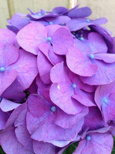 Color Hortencia