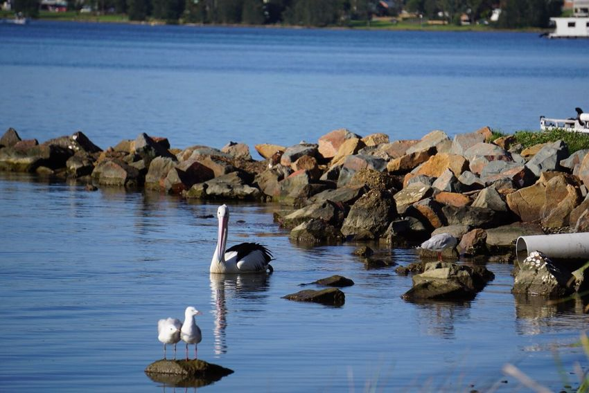 Animals In The Wild Bird Water Animal Themes Swimming Nature Lake Animal Wildlife Large Group Of Animals Waterfront No People Outdoors Canada Goose Day Beauty In Nature Geese Swan
