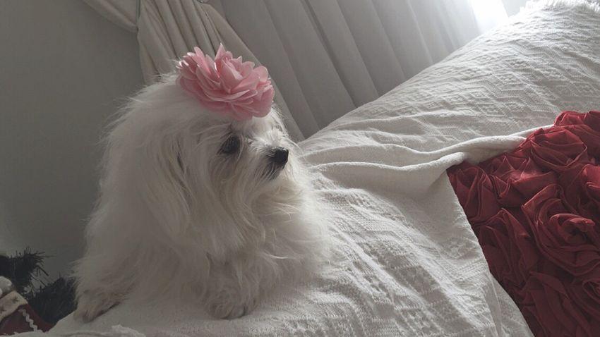 Dog Domestic Animals Pets Maltes Lovedogs Lilica Sao Paulo - Brazil