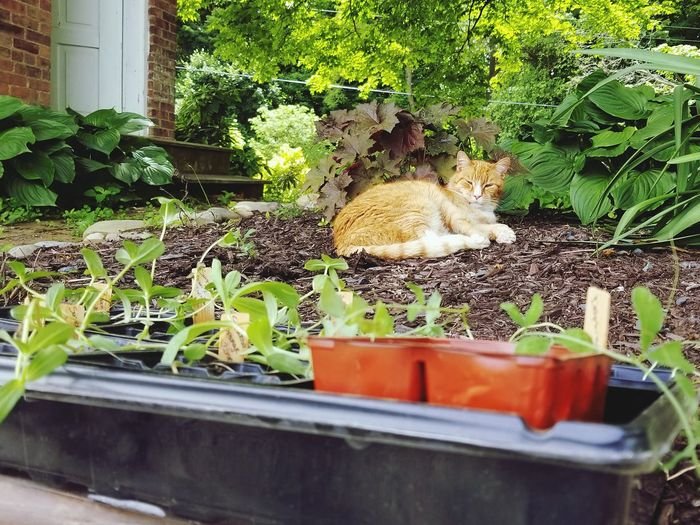 No gardening today... Cat Cat Nap Cat Lovers Cats Of EyeEm Catoftheday Cat Photography Tabby Cat Orange Spring Planting Gardening Garden Photography Garden Gardening Close-up Close-up Plant Green Color Backyard Potted Plant Flower Pot Growing