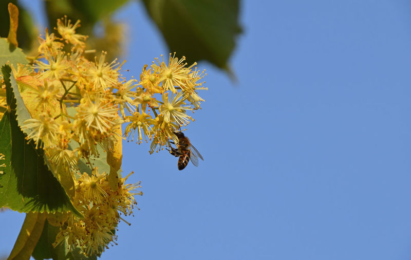 Low Angle View Of Honey Bee On Yellow Flowers