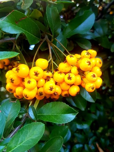 Yellow Freshness Fruit Botany Nature Beauty In Nature Macro Macro_collection Street Life City Nature City Park Green Leaves City Life Yellow And Green Large Group Of Objects Rowan Berries Galaxy S7 Edge Beautifully Organized