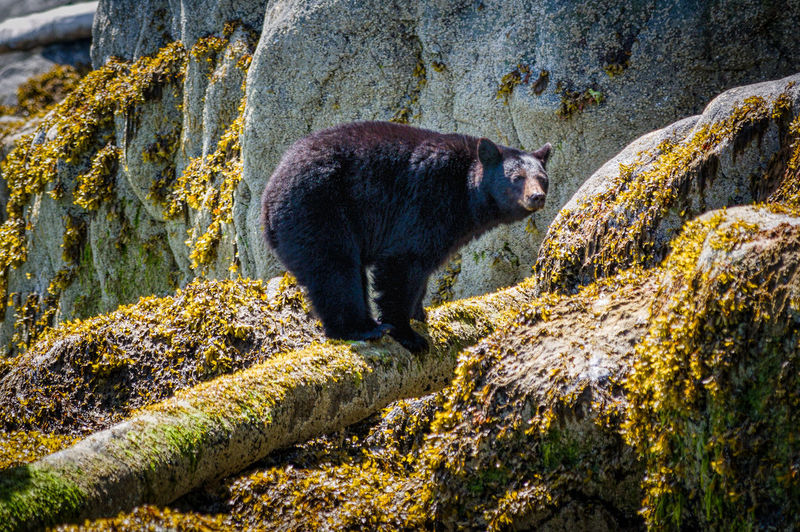 View Of Black Bear Standing On Log By Rocks