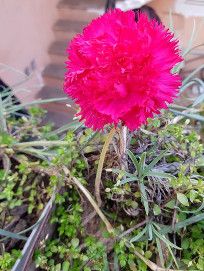 Türkiye Turgutlu  Salihli Manisa  Flower Outdoors Day Beauty In Nature Peony  Nature Flower Head Plant Growth Pink Color Fragility Petal Close-up No People Freshness