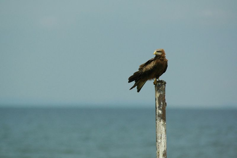 Yellow-billed kite perching on wooden post against sea and sky during sunny day