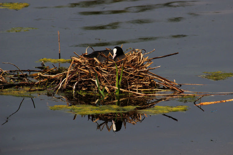 Bläshuhn Animal Nest Animal Themes Animal Wildlife Animals In The Wild Lake Nature Water