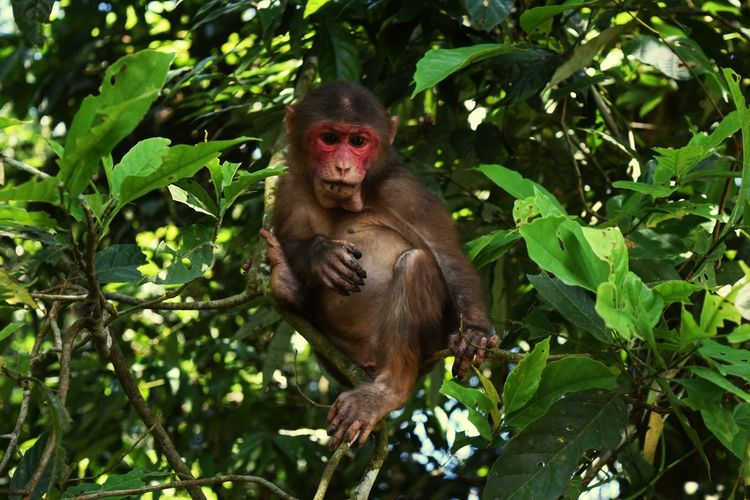 Stump Tailed Macaque Wildlife Wildlife & Nature Wildlife Photography Gibbon Wildlife Sanctuary Jorhat,Assam Mariani Northeast Conservation Tree Portrait Full Length Looking At Camera Leaf Branch Ape Forest Cute Primate