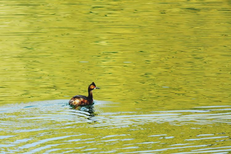 Grebe in a green reflection One Animal Water Lake Animals In The Wild Swimming Animal Themes Bird Nature No People Animal Eared Grebe Grebe Utah Gunlock State Park Gunlock Reservoir Ducks Reflection Green Color Outdoors Gunlock, Utah Nature