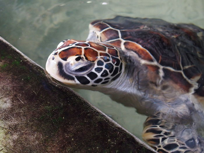 High Angle View Of Green Turtle In Pond
