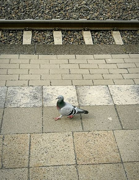 Waiting for the train.. High Angle View Bird Animal Themes Day Pidgeon  Pidgeonlife Railroad Station Platform Railroad Station HuaweiP9Photography Huaweiphotography Huawei P9 Leica HuaweiP9 One Animal Adapted To The City Live For The Story