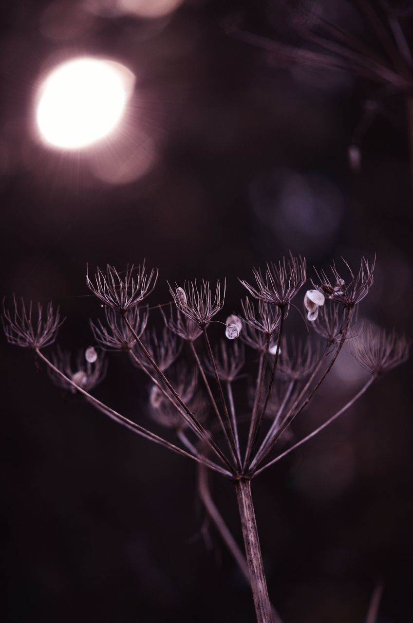 CLOSE-UP OF WILTED PLANT AGAINST SKY AT NIGHT