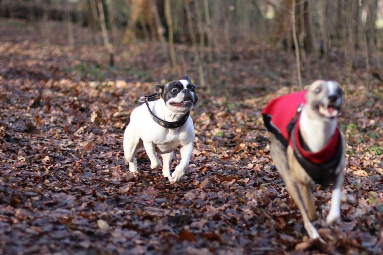 Crazy Looking Dog Dog Dog Friends Dog Friendship Dog Looking Mad Doggy Friends Dogs Dogs In Action Französische Bulldogge  French Bulldog Frenchbulldog Hund Hund In Aktion Hunde Hunde Im Wald Hunde In Aktion Hungary Laufende Hunde Outdoors Playing Dogs Running Dogs Spielende Hunde Whippet Whippets