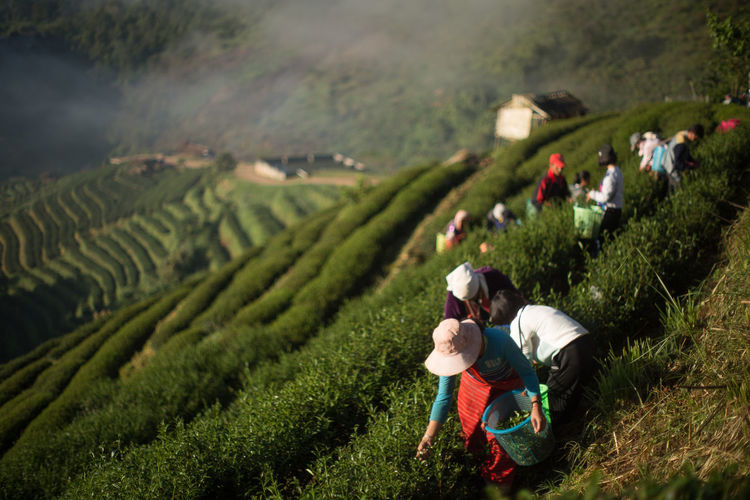 High angle view of people working in tea farm