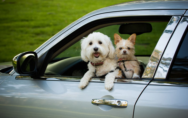 Car Motor Vehicle Canine Dog Mode Of Transportation Pets Domestic Animal Themes Day No People Animal Vehicle Car Ride